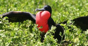 Black frigatebird male