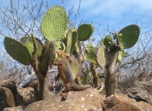 Land iguana preying on cacti