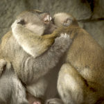 Macho & Marvin – Long-tailed macaques