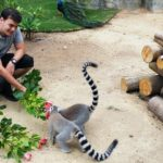 A volunteer at the AWCP with the ring tailed lemurs