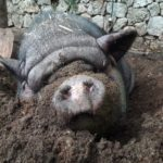 Wally the pot-bellied pig