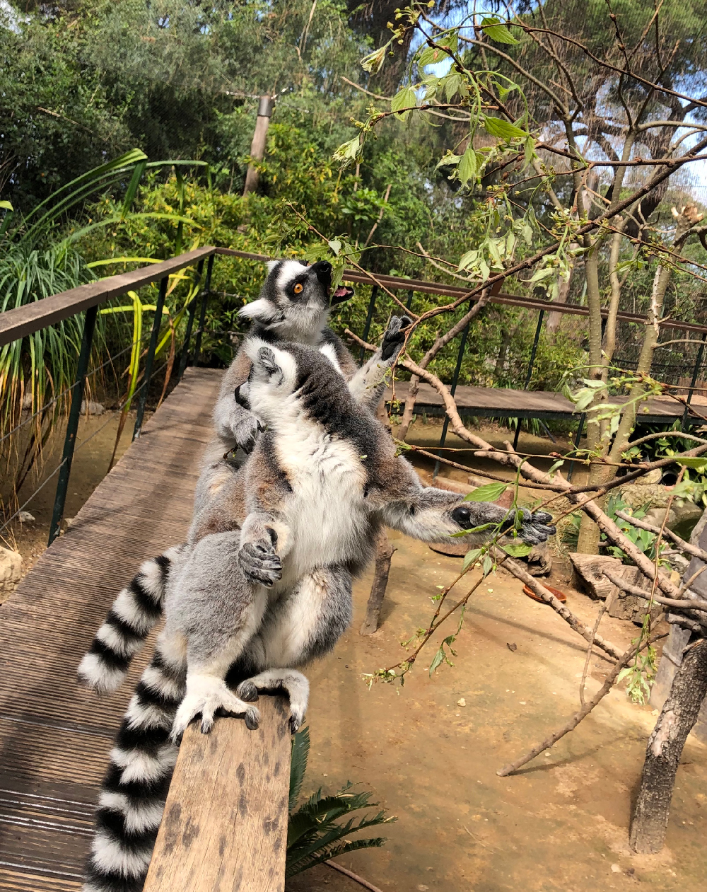 Ring-tailed-lemurs-with-nettle-tree-browse