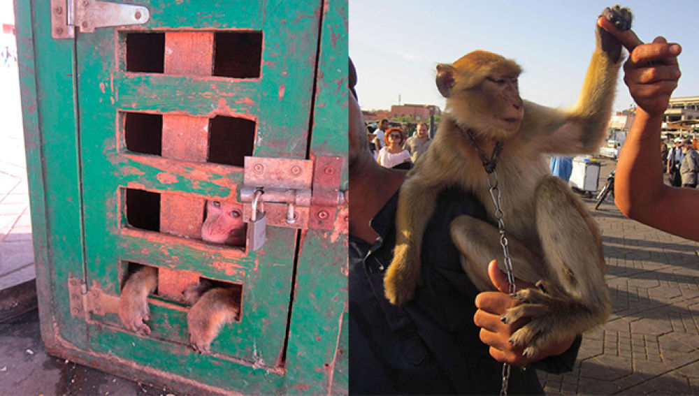 Macaques used as props for tourist selfies in Morocco