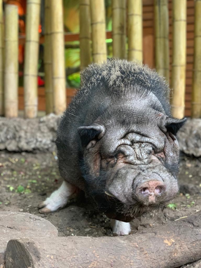 Vallete the Potbellied pig