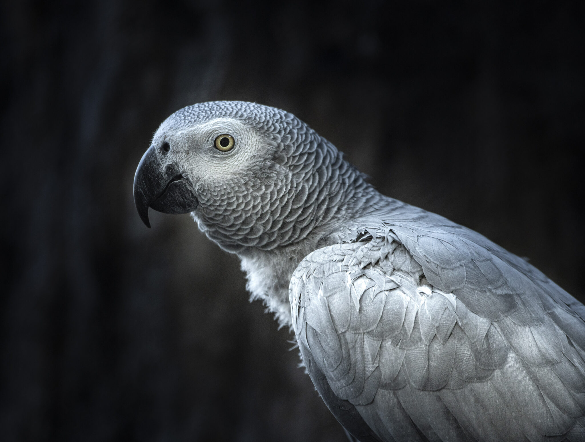 Susie the African Grey (c)Alma Leaper