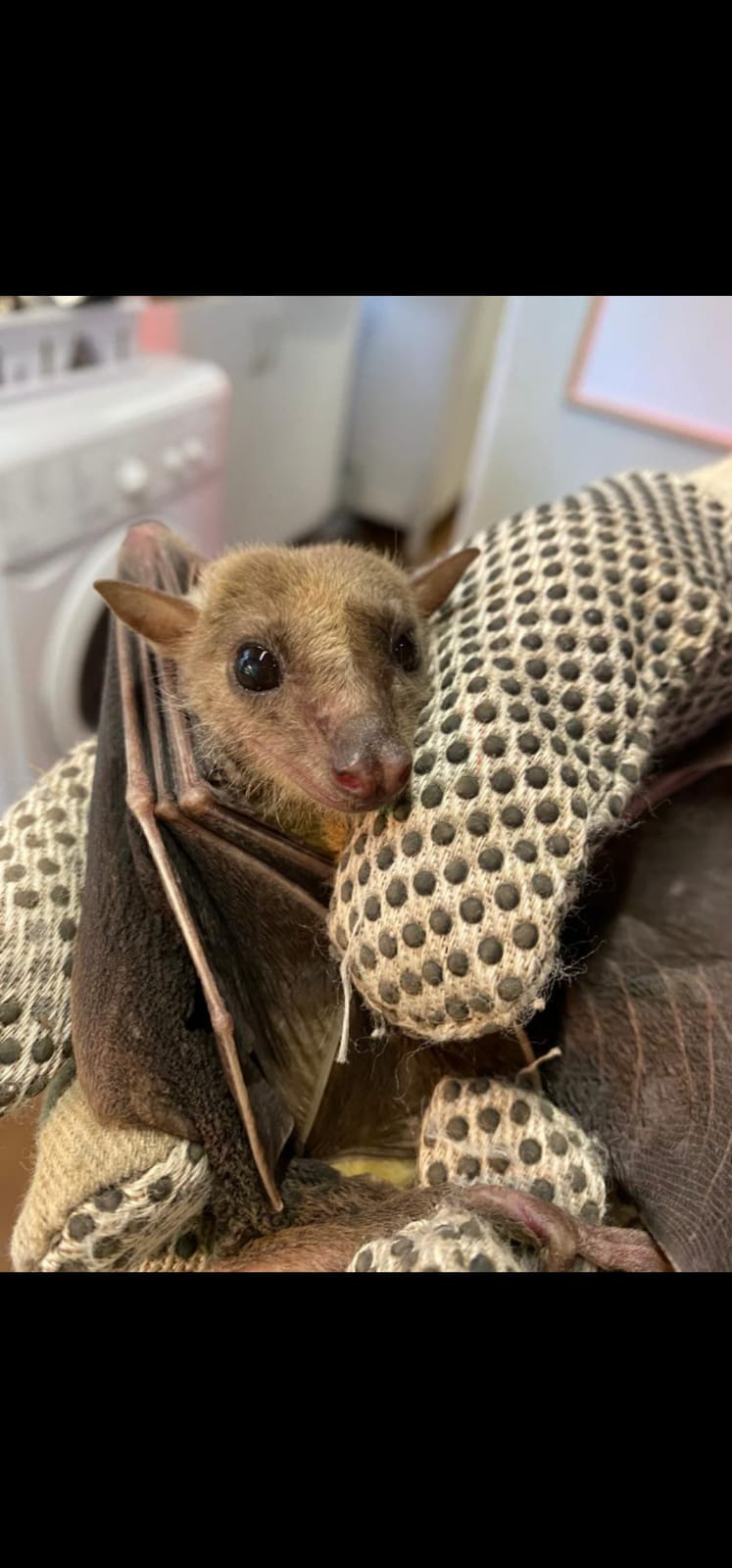 eff the Egyptian fruit bat recovering after treatment